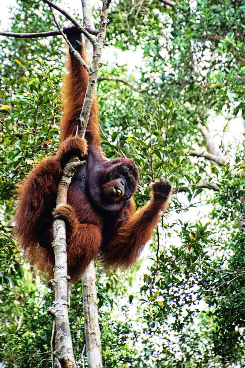 Male orangutan in tree