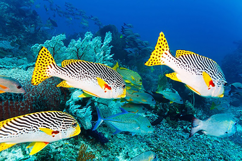 Tropical fish scuba diving Indonesia